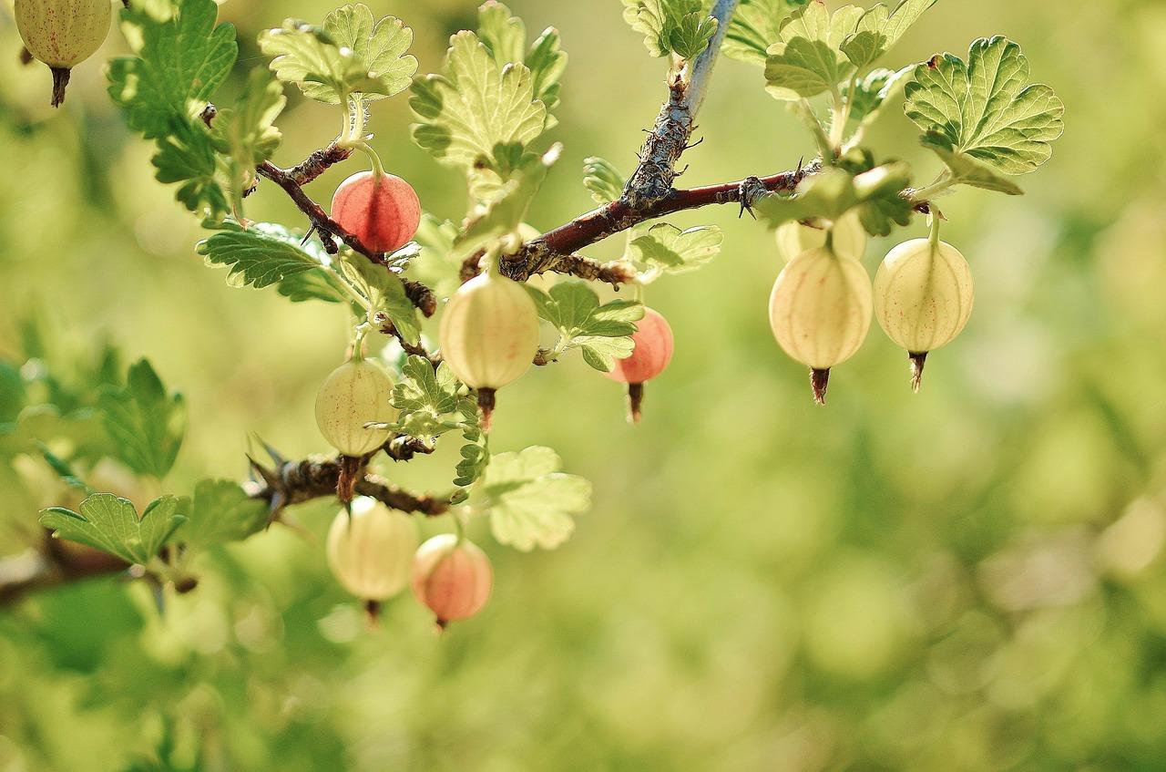 gooseberry-176450_1280